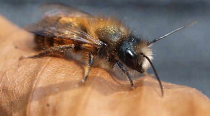 Wildbienen – Garanten unserer biologischen Vielfalt sind stark bedroht.